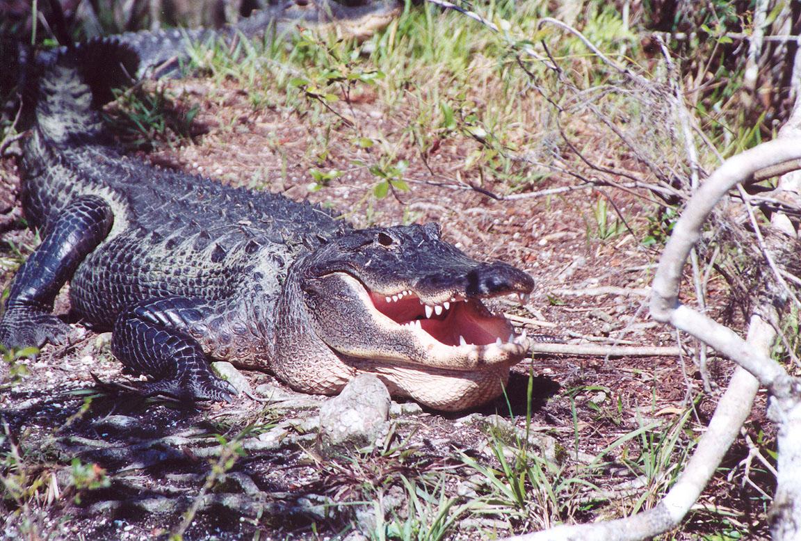 Аллигатор миссисипский (Alligator mississippiensis)