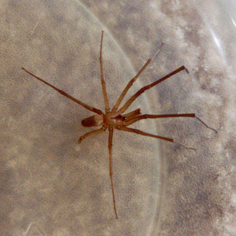 Southern house spider vs brown recluse