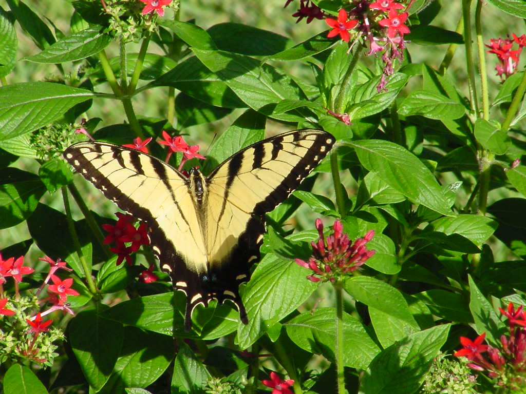 Florida Nature: Papilio glaucus - Eastern Tiger Swallowtail