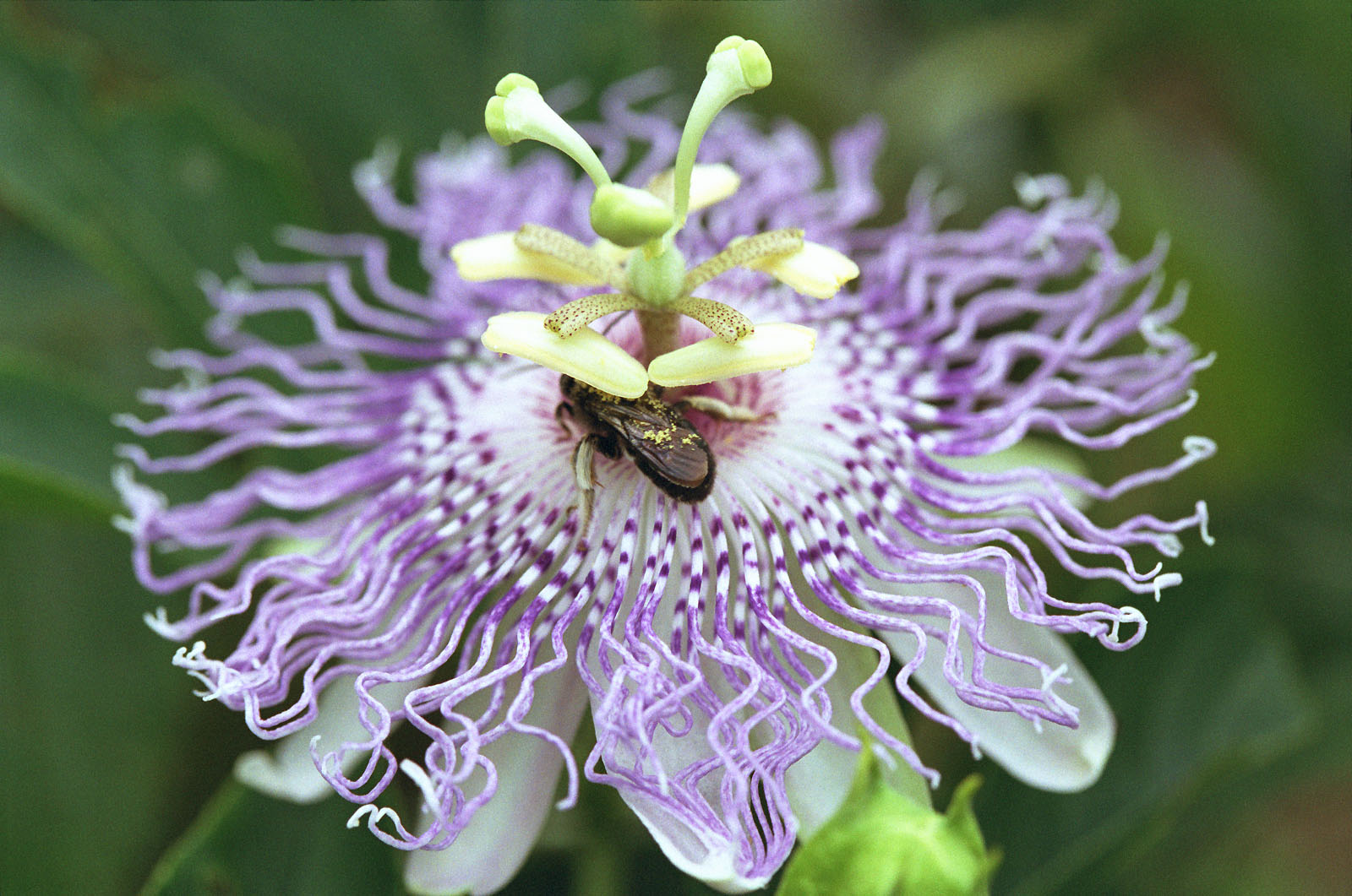 Florida Nature Passiflora Incarnata Purple Passionflower