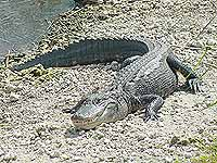 Alligator mississippiensis